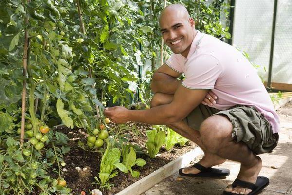 Tomatplanter beskjæring